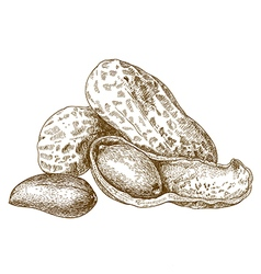 Engraving shelled peanut vector
