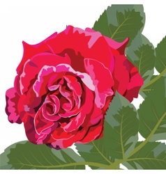 Red rose flower isolated vector