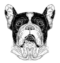 Portrait of french bulldog vector