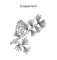 larch cone and branch vector image