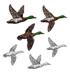 Mallard duck sketch wild bird icon vector