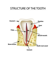 The anatomical structure of the tooth infographics vector