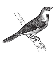 Dickcissel vintage engraving vector