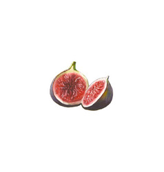 Watercolor figs isolated on white background vector