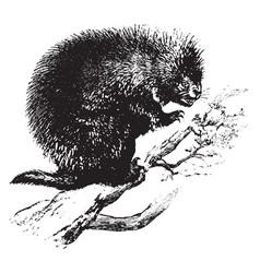 Canada porcupine vintage vector