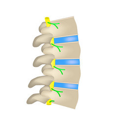 The structure of the spine side view the vector