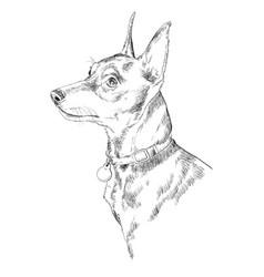 miniature pinscher hand drawing portrait vector image vector image