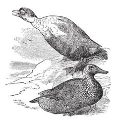 King Eider vintage engraving vector image