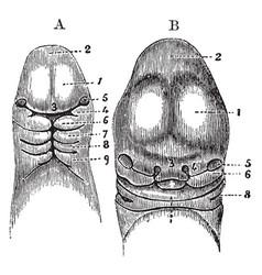 Head of an embryo vintage vector