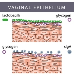 Vaginal epithelium with glycogen vector