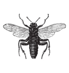 Elm Sawfly vintage engraving vector image