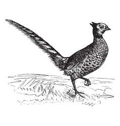 Common pheasant vintage engraving vector