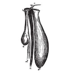 Bustard gular pouch vintage vector