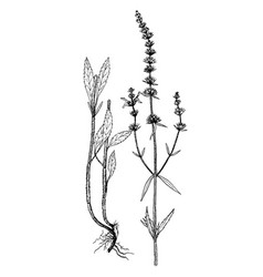 Stachys recta botanical vector