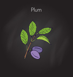 plum branch with fruits vector image