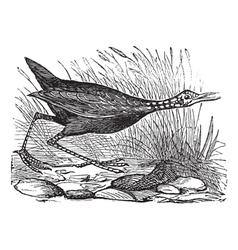 Limpkin vintage engraving vector image vector image