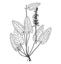 Stachys officinalis boatanical vector