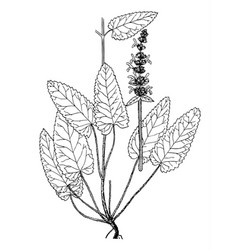 stachys officinalis boatanical vector image vector image