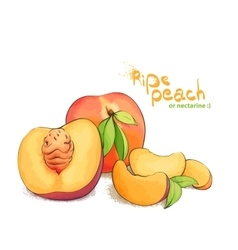 Ripe peach fruit vector