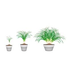 Lemon grass plants in ceramic flower pots vector