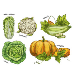 Sketch of napa cabbage squash and cauliflower vector
