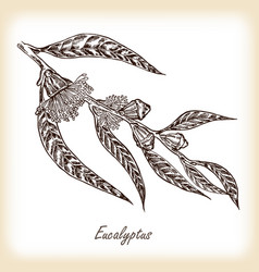 Eucalyptus leaves and flowers hand drawn vector