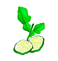 Sliced kaffir lime fruit on white background vector