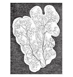 Lobules of parotid of a sheep vintage vector
