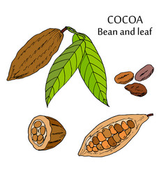 cocoa bean and leaf vector image vector image