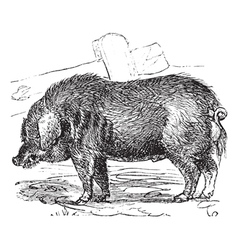 Hog vintage engraving vector image