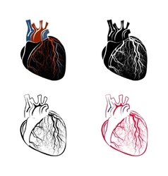 Anatomy of the heart vector