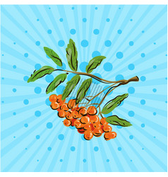 bunch rowan berries on blue bakground vector image