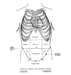 Thoracic and abdominal regions vintage vector