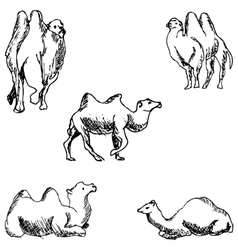 Camels a sketch by hand pencil drawing vector
