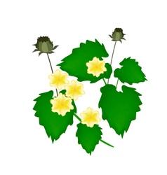 Abutilon indicum flower or indian mallow flower vector