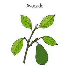 avocado or alligator pear vector image vector image
