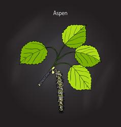 aspen populus tremula vector image
