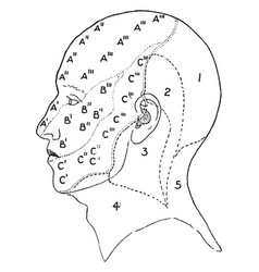 Nerve areas of the face and scalp vintage vector