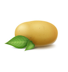 Yellow raw whole unpeeled potato with leaves vector