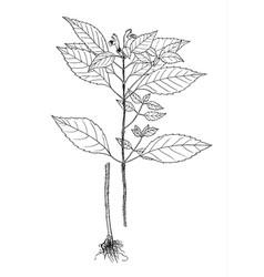 Galeopsis speciosa botanical vector
