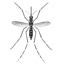 Adult yellow fever mosquito vintage vector