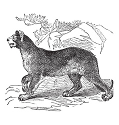 Cougar vintage engraving vector