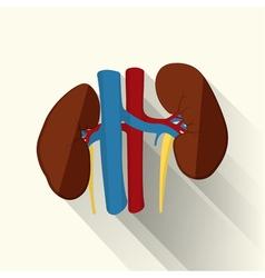 Human kidneys flat vector