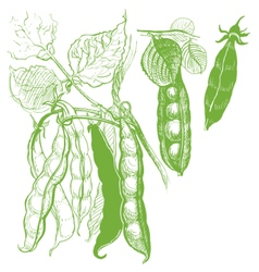 Peas vegetable vintage drawing vector image