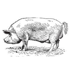 Yorkshire pig vintage vector