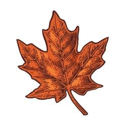 Maple leaf vintage color engraved vector