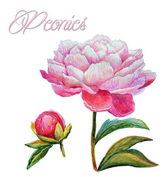 Peonies watercolor vector