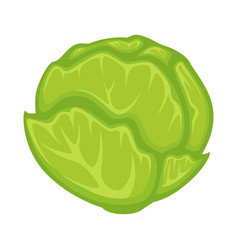 green fresh cabbage vector image vector image