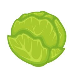 Green fresh cabbage vector