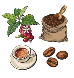 Evolution of coffee from berries to beans and vector image